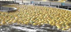 La primera exportación de limones a EE.UU. será el mes próximo con unas 5000 toneladas